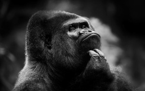 gorilla-thinking-something--1680x1050